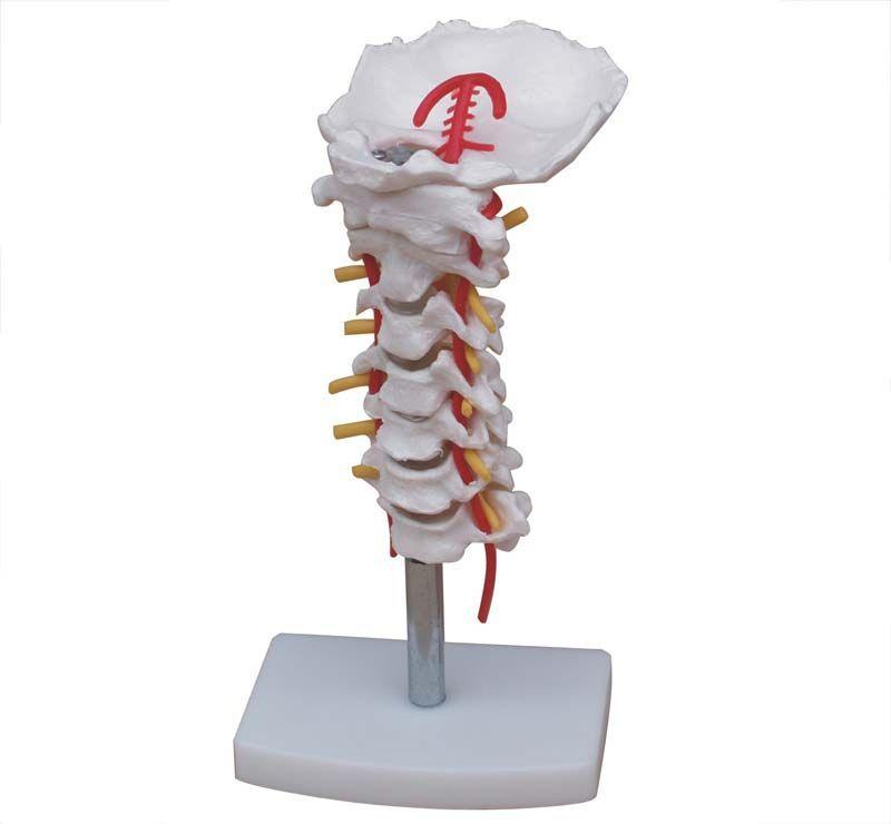 Boyun Arter ile Servikal Vertebral Kolon Modeli